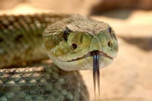 Snake conflict animal for 2019